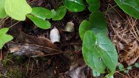 Large-flowered Heartleaf (Hexastylis shuttleworthii)