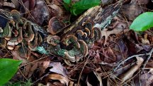Older Turkeytail Mushroom