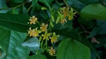 Smooth Southern Bush Honeysuckle (Diervilla sessilifolia)