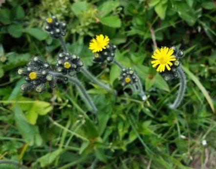 King Devil (Hieracium caespitosum)