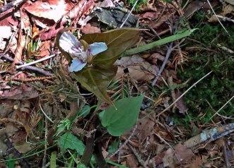 Lonely Little Painted Trillium (Trillium undulatum)