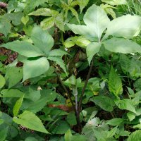 Jack-in-the-Pulpit (Arisaema triphyllum)
