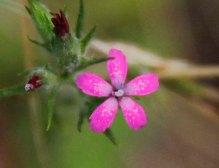Deptford Pink (Dianthus armeria*)