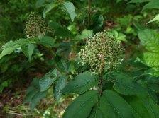 Red Elder (Sambucus racemosa)
