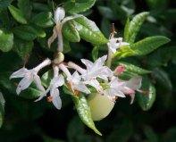 Possibly Smooth Azalea (Rhododendron arborescens)