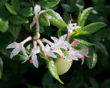 Smooth Azalea (Rhododendron arborescens)