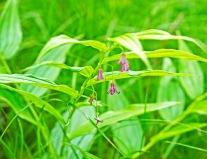 Rose Twisted Stalk (Streptopus lanceolatus v. roseus)