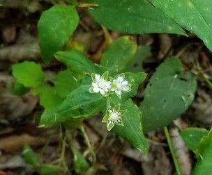 Tennessee Chickweed (Stellaria corei)