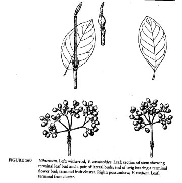 From Swanson (Trees & Shrubs of Southern Appalachians)