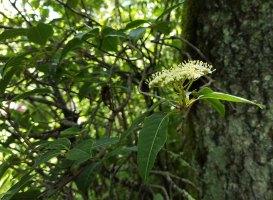 Wild Raisin (Viburnum nudum var. cassinoides) Bloom