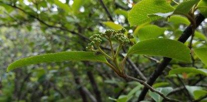 Withe Rod (Viburnum nudum var. cassinoides) is short stalked (short peduncle vs. pedicle)