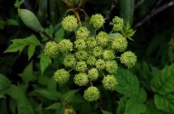 Filmy Angelica (Angelica triquinata)