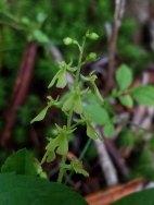 Appalachian Twayblade (Neottia smallii)