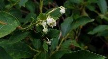 Maleberry (Lyonia ligustrina)