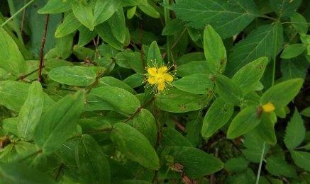 Mountain St. John's-wort (Hypericum graveolens)