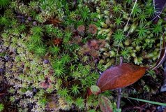 Round-leaved Sundew (Drosera rotundifolia)