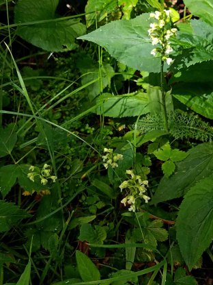 Small Green Wood Orchid (Gymnadeniopsis clavellata) Group