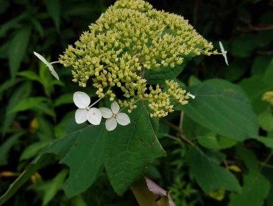 Wild or Smooth Hydrangea (Hydrangea arborescens)