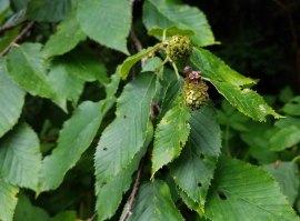 Yellow Birch (Betula alleghaniensis)