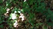 Appalachian Bunchflower (Veratrum parviflorum) Flower buds