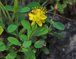 Appalachian St. John's Wort (Hypericum buckleyi)