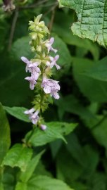 Broadtooth Hedge Nettle (Stachys latidens)