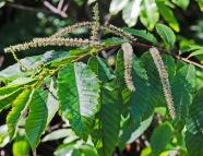 Chinquapin (Castanea pumila)