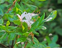 Clammy or Swamp Azalea (Rhododendron viscosum)