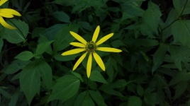 Green-headed Coneflower (Rudbeckia laciniata)