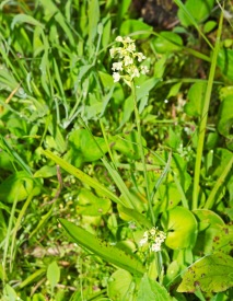 Small Green Wood Orchid (Gymnadeniopsis clavellata)