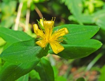 Mountain St. Johns-wort (Hypericum graveolens)
