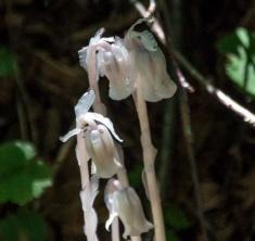 Indian Pipe (Monotropa uniflora)