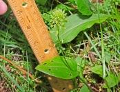Green Adders Mouth (Malaxis unifolia)