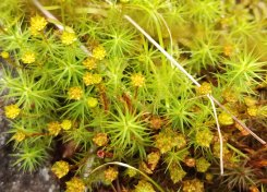 Male Polytrichum - Splash Cups