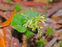 Kidney-leaved Twayblade; Appalachian Twayblade (Neottia smallii)