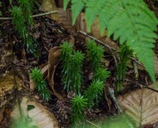 Shining Club Moss (Huperzia)