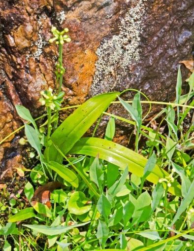 Small Green Wood Orchid (Gymnadeniopsis clavellata)