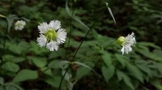 Starry Campion (Silene stellata)