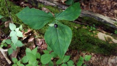 Trillium Fruit