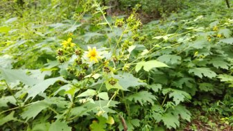 Bearsfoot; Yellow Leafcup (Smallanthus uvedalia)