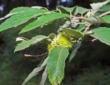 Allegheny Chinquipin (Castanea pumila)