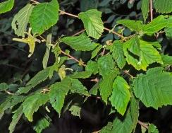 Beaked Hazelnut (Corylus cornuta)