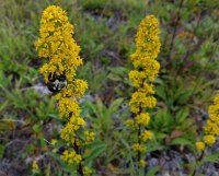 Bee on a Goldenrod (Solidago roanensis)