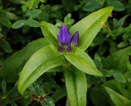 Probably Balsam Mountain Gentian (Gentiana latidens)
