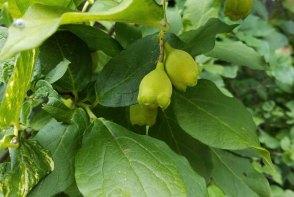 Buffalo Nut (Pyrularia pubera) Fruit