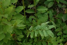 Canadian Burnet (Sanguisorba canadensis) Leaves