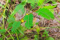 Chamaecrista nictitans (Wild Sensitive Plant)