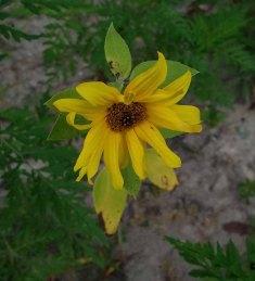 Common Sunflower (Helianthus annuus)