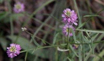 Curtiss' Milkwort (Polygala curtissii)