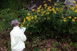 Bonnie and the False Sunflower (Heliopsis helianthoides)